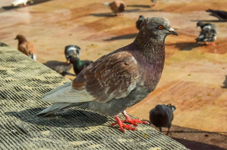 proliferation-des-oiseaux-nuisibles